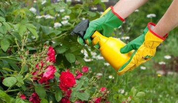 Пероноспороз: лечение ложной мучнистой росы на розах