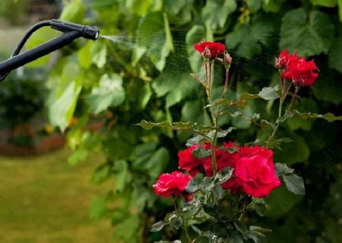 Обработка роз будет эффективней, если опрыскиватель настроен на мелкодисперсную подачу раствора.