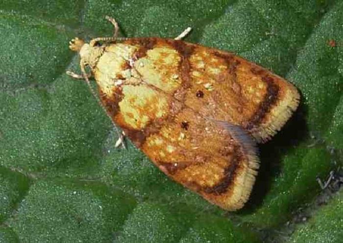 Бабочки листовертки днем располагается в кроне деревьев, а вылетают с наступлением сумерек. Обработку против них лучше проводить днем, когда вредители не активны.