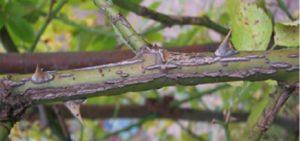 Симптомы проявляются ранней весной, когда на одревесневших побегах появляются трещины, окаймленные буро – коричневыми пятнами. Разрастаясь, они опоясывают весь побег, который чернеет и усыхает.