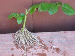 Корневин увеличивает образование корней у черенков в несколько раз.