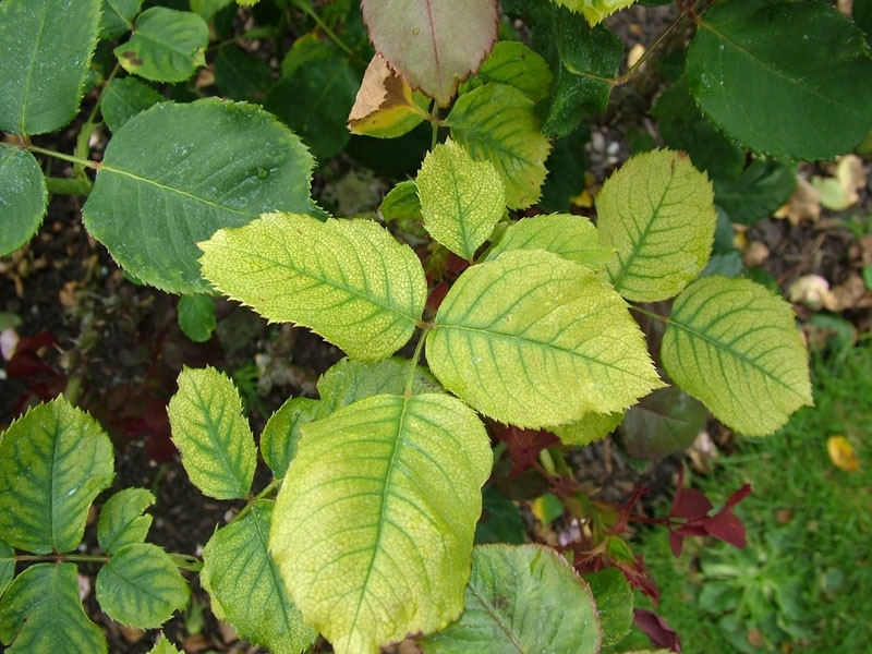 Часто, края хлоротичных листьев опускаются вниз, и выглядит это так, будто они увяли.