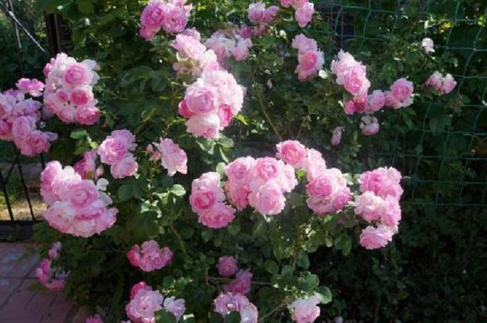 Сорт плетистой розы «Жасмина» (Jasmina).