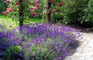 Лаванда узколистная украшает розарий голубым или сиреневым цветением и серебристыми листьями.