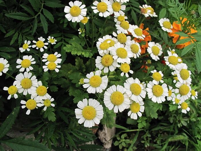 Ромашка далматская не только украсит розарий, но и защитит от садового хрущика и других вредителей.
