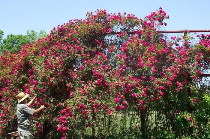 Сорт «Генри Келси» один из популярных представителей плетистых роз для создания высокорослых живых изгородей и вертикального озеленения.