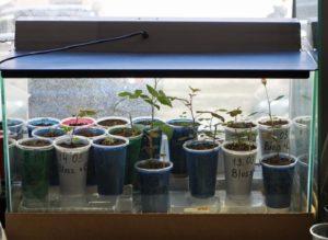 Выращивание подвоя в тепличных условиях требует дополнительного досвечивания. Продолжительность освещения должна быть не меньше 10 часов.