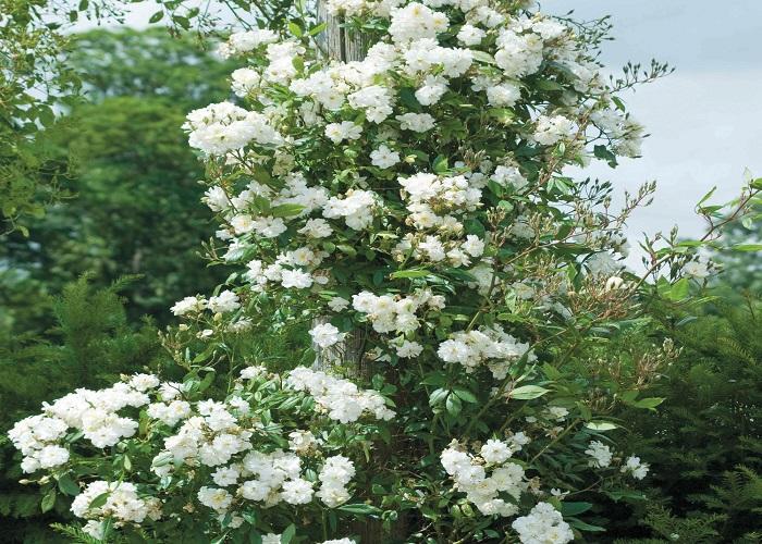 """""""Snow Goose"""" цветет обильно все лето куст, будто усыпан снегом."""