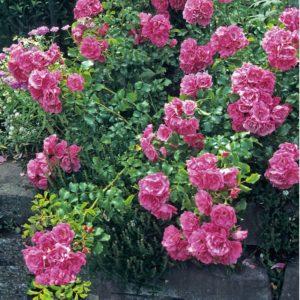Окраска цветков более насыщенная, чем у «Дороти Перкинс», на пике цветения лепестки становятся светло-малиновыми. Особенность цветения – одновременное распускание бутонов, собранных в шаровидные кисти.