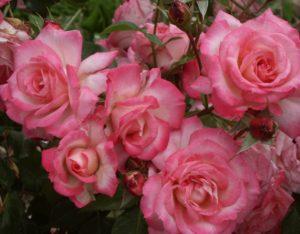 Сорт плетистой розы «Арлекин».
