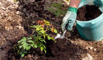 Какого размера выкопать яму для розы
