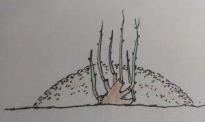 Размножение вертикальными отводками чаще всего применяется для получения подвоя