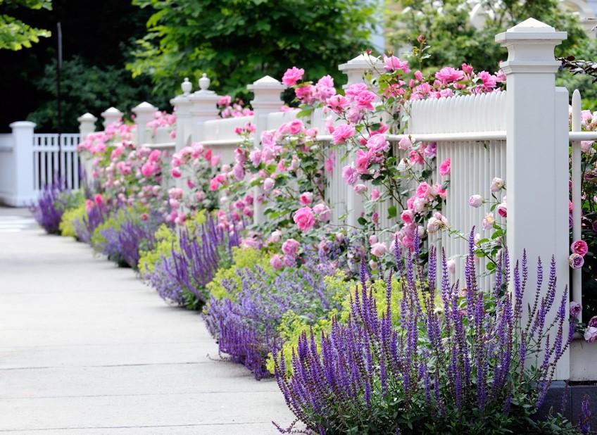 Плетистая роза прекрасно вьется вокруг заборов, колонн, арок или пергол, украшая участок и придавая ему изысканную красоту.