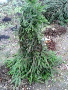 Укрытие из лапника для высоких роз формируют по всей высоте растения.