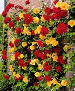 Розу Голден можно высаживать с другими формами плетистых роз. Получается вот такое яркое цветовое сочетание.
