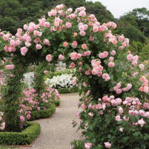 Пример успешного ведения низкорослого шраба плетью – роза Strawberry Hill, которая в кустовой форме дорастает только до 130 см.