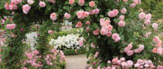 Плетистые розы Остина: примеры и описания сортов