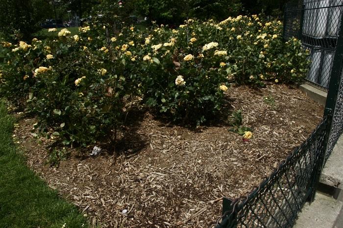 После опрыскивания роз нужно привести в порядок приствольные круги и замульчировать кусты.