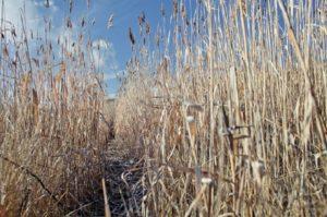 Листорезы охотно гнездуются в полых стеблях сухого тростника, поэтому берега ближайших водоёмов тоже нужно обкашивать.