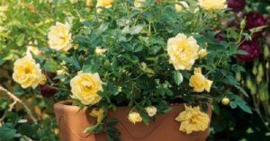 Для посадки в контейнере лучше выбирать сорта роз непрерывного цветения.