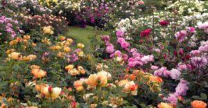 Подкормки комплексными фосфоросодержащими удобрениями способствуют длительному и обильному цветению роз.