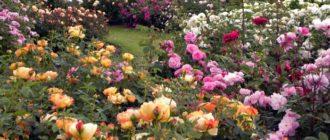 Фосфорные удобрения для садовых роз