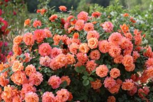 Сорта роз со слабой устойчивостью к холодам лучше высаживать на солнечных участках.