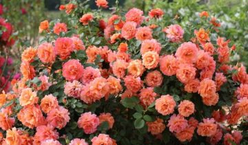 Сорта роз со слабой устойчивостью к холодам лучше высаживать на солнечных участках