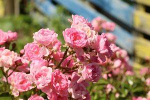 Во время цветения розы можно поливать травяным настоем.