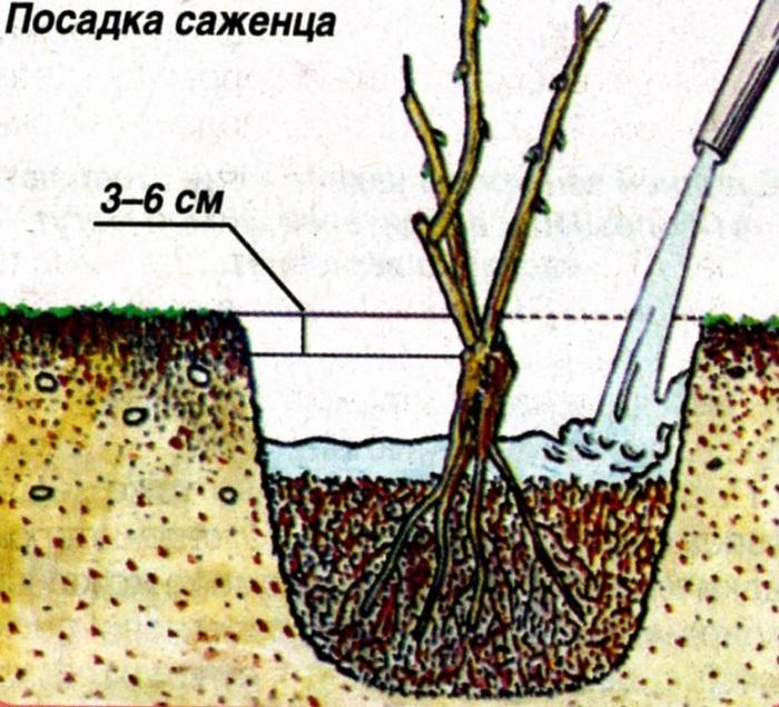 В отличие от плодовых деревьев, розы высаживают с обязательным заглублением корневой шейки.