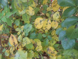 Причины пожелтения листьев розы. Чёрная пятнистость – не естественный процесс старения листа, а инфекционное заболевание, требующее лечения