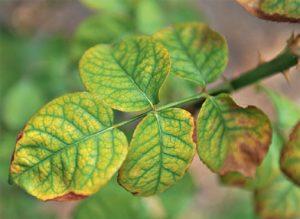 Недостаток питательных веществ, приводит к потере декоративности розы. Например, при нехватке азота появляется хлороз листьев.