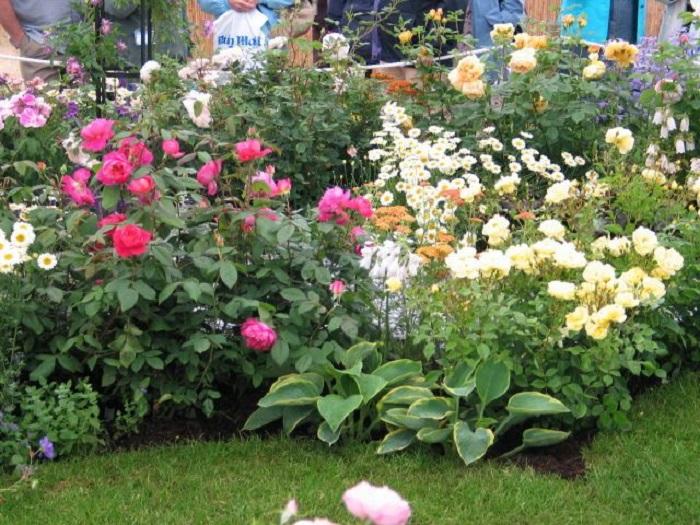 Многие травянистые многолетники интенсивно разрастаются и активно насеваются. Крупные экземпляры составляют серьезную конкуренцию за питательные вещества. Низкие почвопокровные растения невозможно сохранить, при осеннем укрытии роз. Вот почему с точки зрения ухода, цветущие однолетники уместнее.