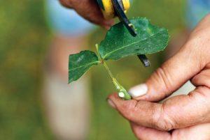 Оставшиеся листья укорачивают наполовину. Этим уменьшается испарение. Совсем убирать листья не стоит, они играют роль насоса при распределении питательных веществ.