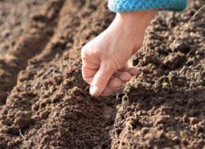 Семена высевают в бороздки, глубиной 1,5 – 2 см, ширина между которыми 15 – 20 см. Эти размеры удобны для дальнейшего ухода и пикировки сеянцев.