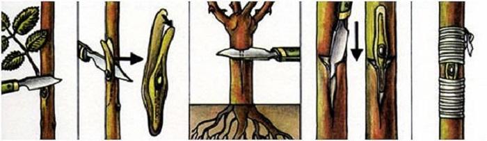 Последовательность выполнения окулировки в корневую шейку шиповника в рисунках.