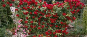 Сорта вьющихся роз, цветущие все лето