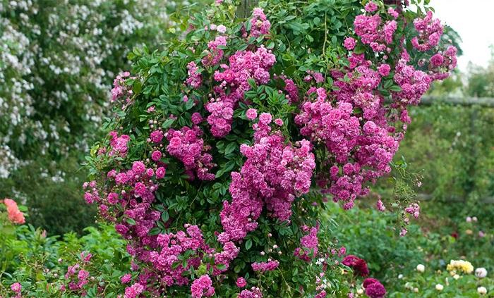 «Супер Дороти» начинает цветение позднее, чем другие плетистые розы, зато цветет до заморозков. Отличается высокой устойчивостью к основным грибковым заболеваниям.