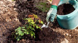 Мульчирование торфом низинным проводят с разрыхлением верхнего слоя почвы.