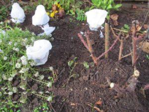 Чайногибридные розы обрезают так, чтобы они полностью поместились под укрытие.