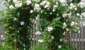 Плетистые розы Schwanensee