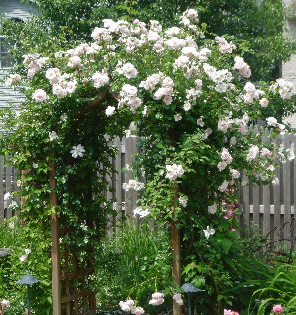 Плетистую розу «Шванензее» используют для вертикального озеленения садов.