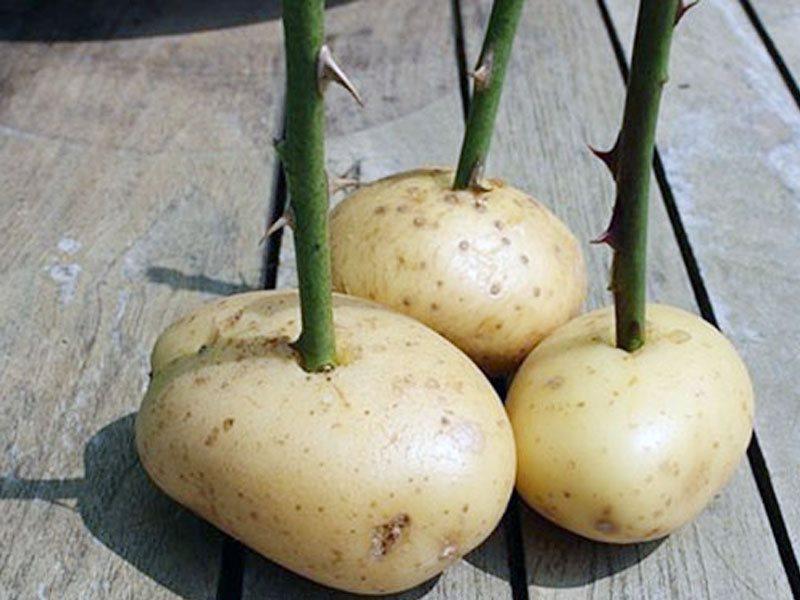 Для проращивания черенков в картофеле отбирают здоровые клубни среднего размера.