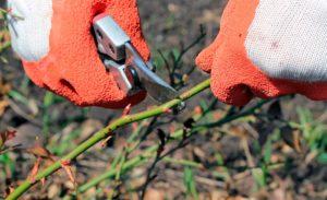 Один из принципов при обрезке розовых кустов: сильные побеги укорачиваются меньше, слабые – больше.