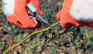 Технология обрезки садовых роз