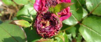 Преждевременное усыхание бутонов роз: причины и лечение