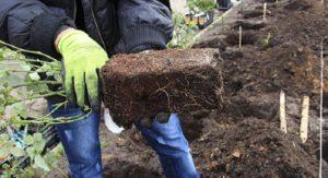 Саженцы с закрытой корневой системой высаживаются в грунт вместе с земляным комом.