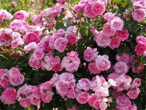Обливное цветение роз невозможно без грамотной обрезки
