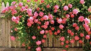 Посадка устойчивых сортов роз гарантирует защищённость розария от мучнистой росы.