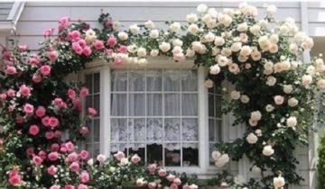 Плетистые розы: размножение, посадка и уход
